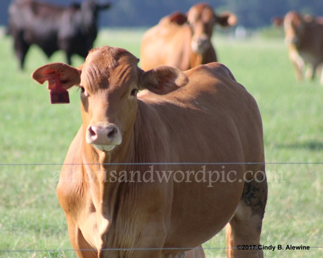 WATERMARKED COW posted