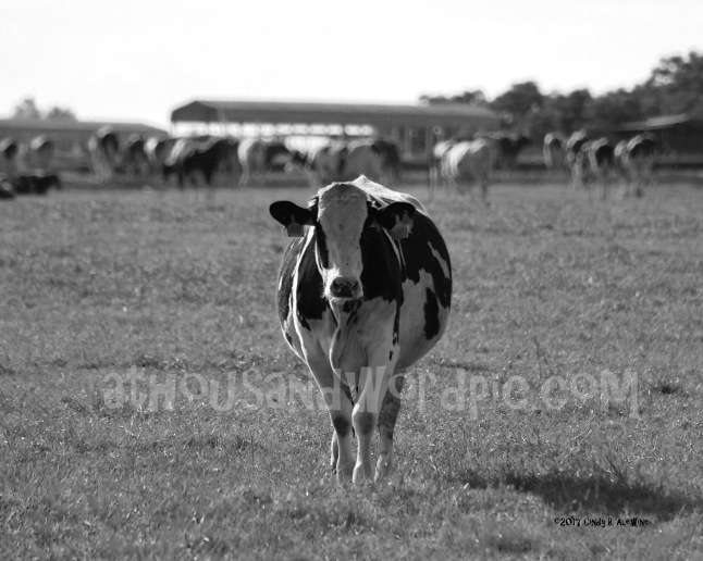 WATERMARKED Cow2 posted