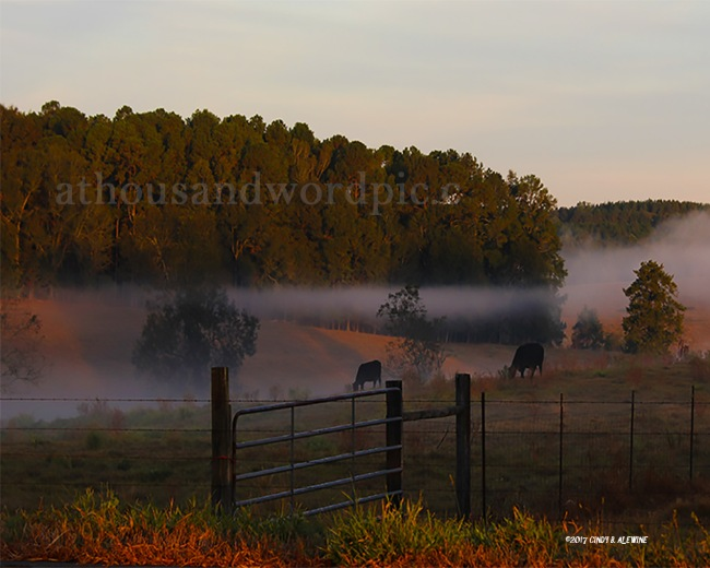 WATERMARKED COWS GRAZING posted