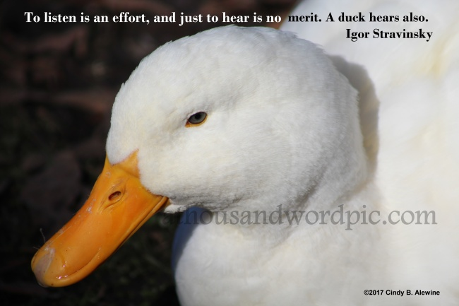 WATERMARKED DUCK 1a posted