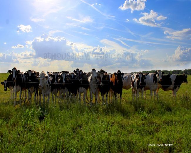 WATERMARKED Line of cows posted