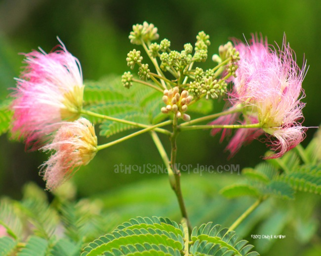 WATERMARKED Mimosa posted