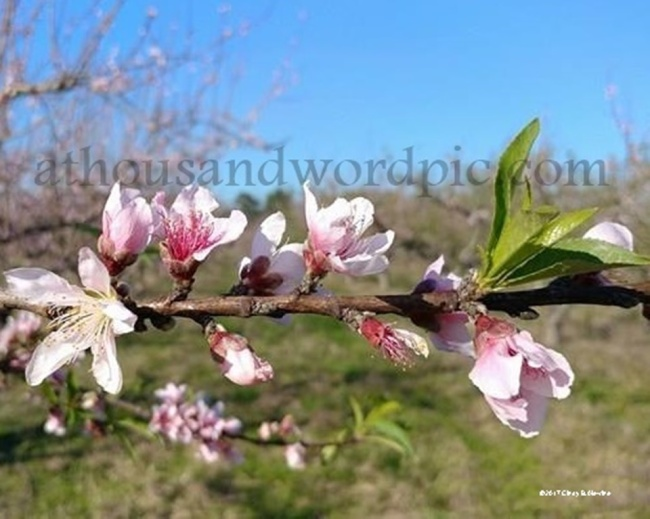 WATERMARKED PEACH BLOOMSa posted